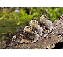 Ducklings in a Row? Photographic Print
