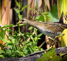 Juvenile Sora Dash by Tom Talbott