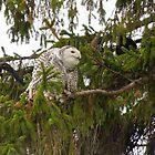 Sunset Hill Snowy Owl: Ignoring Crows by Tom Talbott