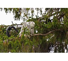 Sunset Hill Snowy Owl: Ignoring Crows Photographic Print