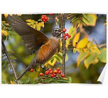 American Robin in Berries Poster