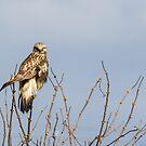 Ever Vigilant -- Rough-legged Hawk by Tom Talbott
