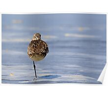 """Weather Vane"" -- Marbled Godwit Poster"