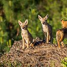 Coyote Pups by Tom Talbott