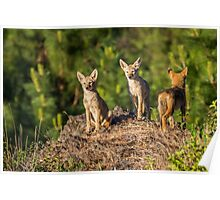 Coyote Pups Poster