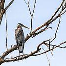 """Dead Tree Sentry"" -- Great Blue Heron by Tom Talbott"