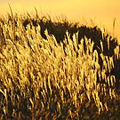 Golden Pampas Grass by lorilee