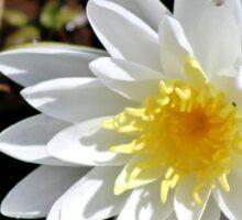 Fragrant Water Lily V Sticker