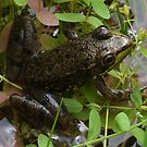 Fire-Pond Frog by clizzio
