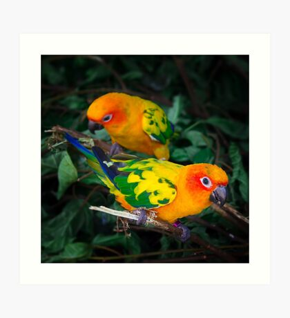 Two sun conures parrots are sitting on a tree branch Art Print