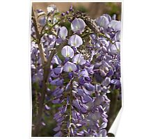 Wisteria Bloom Poster