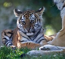 Baby Amur Tiger by Krys Bailey