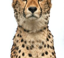 Cheetah Portrait by CharlotteMorse