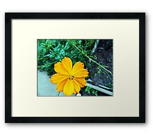 Orange Cosmos Framed Print