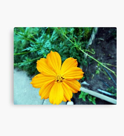 Orange Cosmos Canvas Print