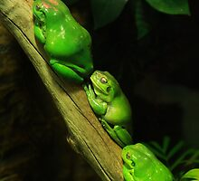 Green tree frogs by eisblume