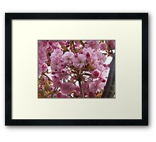 Pink profusion .. cherry tree blossoms Framed Print
