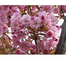 Pink profusion .. cherry tree blossoms Photographic Print