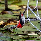 Scarlet Honeyeater by Steve Bass