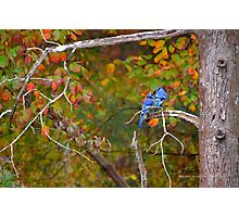 Cyanocitta Cristata - North American Blue Jay Couple Feeding Each Other | Middle Island, New York Photographic Print