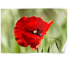 poppies in the field Poster