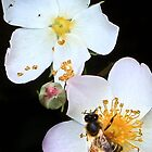 Honey bee on the dog rose by missmoneypenny