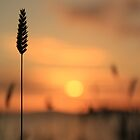 Tall Grass In The Sunset by ArtofOrdinary