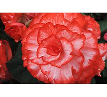 Frilly Red & White Begonia Photographic Print