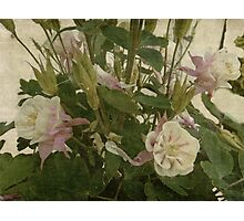Columbine - Old Fashioned Beauty Photographic Print