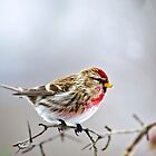 Winter Bird Common Redpoll by Christina Rollo