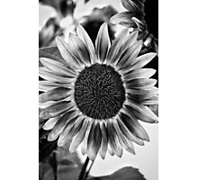 Black and White Sunflower Photographic Print