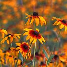 Daisies Galore by Brian104