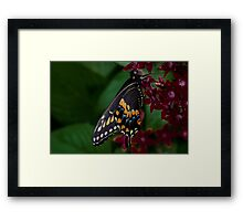 Swallowtail Butterfly Resting on a Flower Framed Print