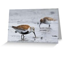 Dunlin Catch Greeting Card