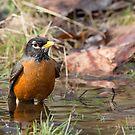 Bathing Robin by Tom Talbott
