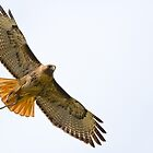 Red-tailed Hawk with Snake by Tom Talbott