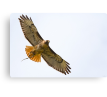 Red-tailed Hawk with Snake Canvas Print