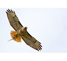Red-tailed Hawk with Snake Photographic Print