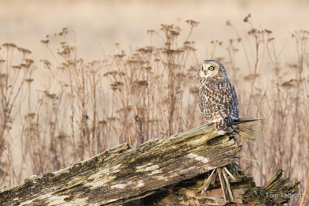 Short-eared Owl in Natural Sepia by Tom Talbott