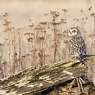 Short-eared Owl in Natural Sepia by Tom Talbott