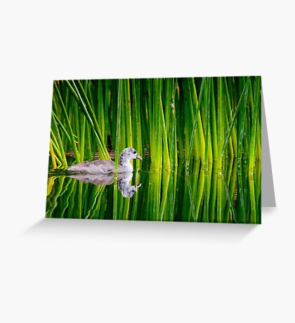 Juvenile American Coot in Reeds Greeting Card