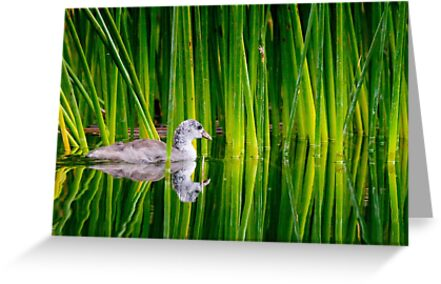 Juvenile American Coot in Reeds by Tom Talbott