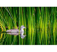 Juvenile American Coot in Reeds Photographic Print