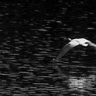 Swans at Marsh Lake by Yukondick