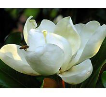 Magnolia Grandiflora Photographic Print