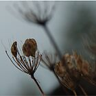 cow parsley by BlossomingBeth