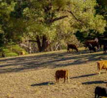 Cattle in the Adelaide Hills Sticker