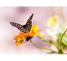 A Sip Of Coreopsis Photographic Print