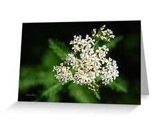 Yarrow Flower Greeting Card