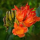 African tulip tree blossoms by Celeste Mookherjee